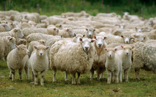 Sheep breeding farm
