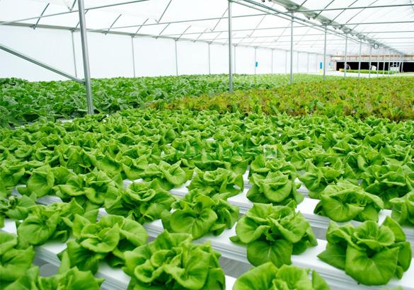 دراسة جدوى مصنع منتجات الزراعة المائية باستثمار 4,5 مليون دولار