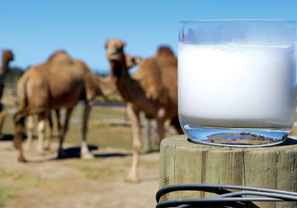 دراسة الجدوى لمشروع مزرعه ألبان الابل باستثمار 5,5 مليون دولار